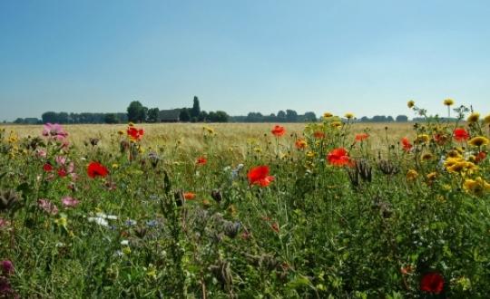 photo: 'flower-rich field margins enhance biodiversity', photographer: Lilian Pruissen